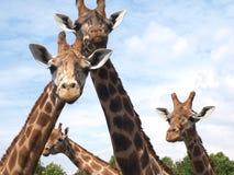 Giraffengruppe von vier Stockfotos