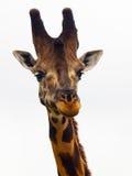 Giraffenhauptnahaufnahme  Lizenzfreies Stockbild