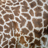 Giraffenhaut Stockbilder