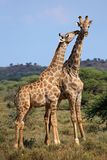 Giraffeninteraktion - Südafrika Lizenzfreie Stockfotografie