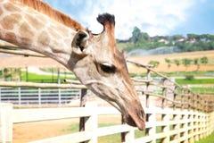Giraffenkopf, der hinunter Hintergrund des Bauernhofes im Freien schaut Lizenzfreie Stockfotografie
