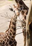 Giraffenkopf, der trockenen Baumast isst Stockbild