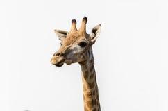 Giraffenkopf lokalisiert auf weißem Hintergrund Lizenzfreie Stockbilder