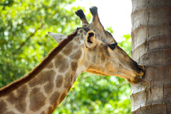 Giraffenkuß Stockbild