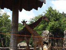Giraffenliebe und Wärmefamilie Stockfotos