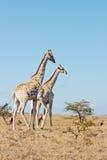 Giraffenpaare Stockfotos