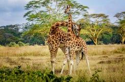 Giraffenpaare, die mit einander in Kenia, Afrika streicheln Lizenzfreie Stockfotos