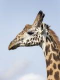 Giraffenporträt Stockfoto