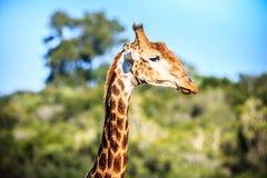 Giraffenporträt auf einer Savanne Lizenzfreies Stockfoto
