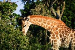 Giraffenporträt auf einer Savanne Stockbild