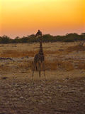 Giraffenschattenbild Stockbild