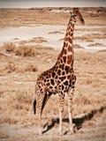 Giraffenschattenbild Stockfotos