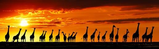 Giraffensilhouetten bij zonsondergang stock foto