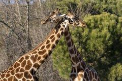 Giraffenumarmung unter der Sonne im Winter lizenzfreies stockfoto