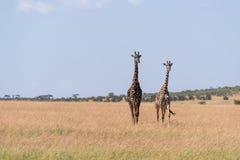 Giraffenweg mit zwei Masais im langen Gras lizenzfreie stockfotos
