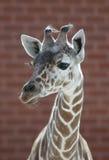 Giraffeportrait Lizenzfreie Stockfotos