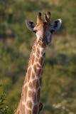 Giraffeportrait lizenzfreies stockfoto