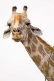 Giraffeportrait Lizenzfreies Stockbild