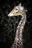 Giraffeprofil Lizenzfreie Stockbilder