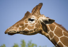 Giraffeprofil-Kopfportrait Stockfoto