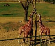 giraffes άγρια περιοχές στοκ εικόνα