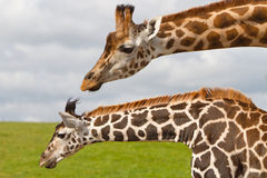 giraffes άγρια φύση πάρκων Στοκ Φωτογραφία