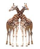 giraffes απομόνωσαν δύο Στοκ Εικόνα