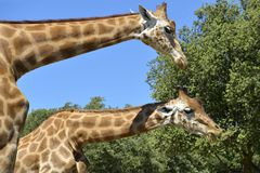 giraffes δύο κινηματογραφήσεων σε πρώτο πλάνο Στοκ εικόνα με δικαίωμα ελεύθερης χρήσης