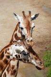giraffes ζευγών Στοκ φωτογραφίες με δικαίωμα ελεύθερης χρήσης