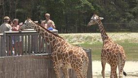 Giraffes, θηλαστικά, ζώα ζωολογικών κήπων, σαφάρι απόθεμα βίντεο