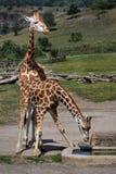 Giraffes θηλαστικά ζώων Στοκ Εικόνες