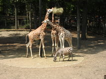 Giraffes και με ραβδώσεις στοκ εικόνες