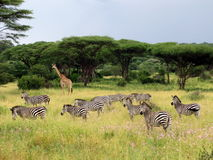 Giraffes και Zebras βόσκουν στην αφρικανική σαβάνα, Τανζανία, εθνικό πάρκο Ruaha Στοκ Φωτογραφίες