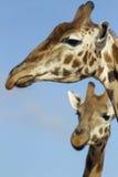 Giraffes κινηματογράφηση σε πρώτο πλάνο Στοκ εικόνα με δικαίωμα ελεύθερης χρήσης