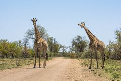 Giraffes μαζί στο πάρκο Kruger στοκ εικόνες