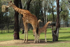 Giraffes μητέρων και μωρών Στοκ φωτογραφία με δικαίωμα ελεύθερης χρήσης