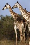 giraffes Ναμίμπια Στοκ Εικόνες