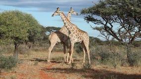 giraffes πάλης της Αφρικής kruger ο εθνικός νότος εικόνων πάρκων που λήφθηκε ήταν φιλμ μικρού μήκους