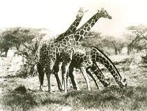 Giraffes που βόσκουν έξω Στοκ φωτογραφία με δικαίωμα ελεύθερης χρήσης