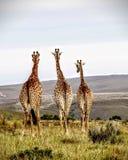 Giraffes που κοιτάζουν στο μέλλον Στοκ εικόνες με δικαίωμα ελεύθερης χρήσης