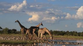 Giraffes που πίνουν σε μια τρύπα νερού φιλμ μικρού μήκους