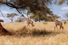 Giraffes που περπατούν στο θάμνο Στοκ Φωτογραφίες