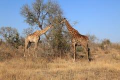 Giraffes πολυάσχολη βοσκή στο εθνικό πάρκο Kruger, Νότια Αφρική Στοκ Εικόνες