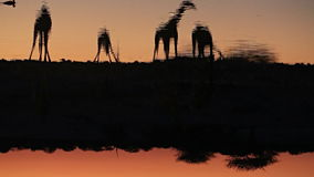Giraffes πόσιμο νερό στο waterhole φιλμ μικρού μήκους