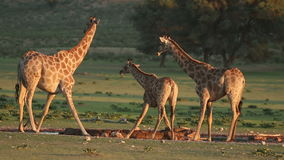 Giraffes πόσιμο νερό απόθεμα βίντεο