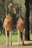 Giraffes σίτιση Στοκ Φωτογραφία