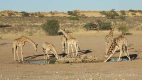 Giraffes σε ένα waterhole απόθεμα βίντεο