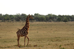 Giraffes στα βορειοδυτικά, Νότια Αφρική Στοκ εικόνες με δικαίωμα ελεύθερης χρήσης
