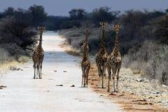 Giraffes στην οδό - Ναμίμπια Αφρική στοκ φωτογραφία