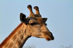 Giraffes στη σαβάνα της Αφρικής στοκ εικόνα με δικαίωμα ελεύθερης χρήσης